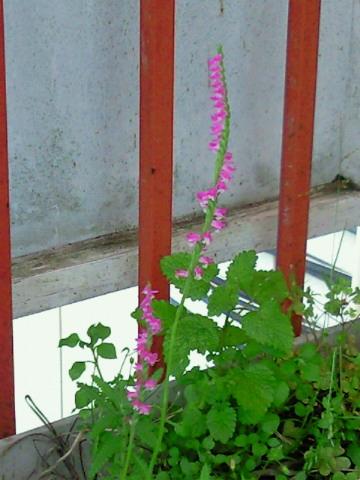 ねじ花がこんなとこに